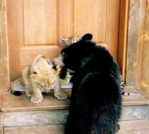 Brothers 10 Foto foto Persaudaraan Antara Beruang, Singa Dan Harimau (Bagaimana Bisa?)
