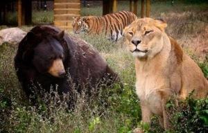 Brothers 16 Foto foto Persaudaraan Antara Beruang, Singa Dan Harimau (Bagaimana Bisa?)